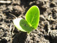 200x150xwatermelon-seedling.jpg.pagespeed.ic.925HBUC2UM